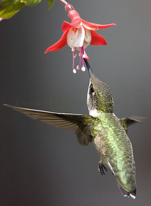 060905 Ruby Throated Hummingbird (Female)