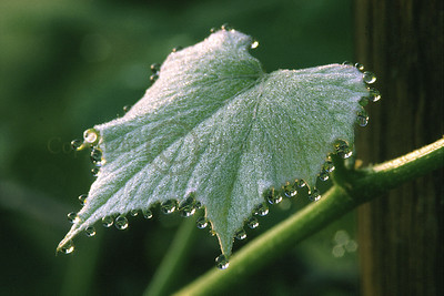 010422 Grape Leaf with Dew
