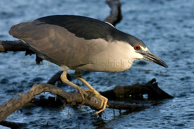 086104 Black Crowned Night Heron