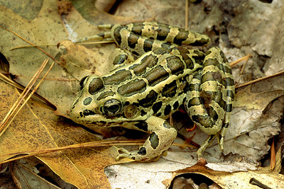 200101 Pickerel Frog