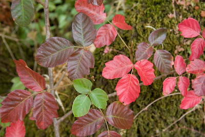 Page 15 - Poison oak (generally green) changes color in the fall.