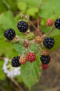 Page 59 - The blackberries get fatter and more abundant downstream.