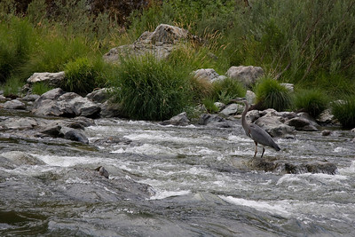 Page 31 - A Great Blue Heron contemplates a passing raft.