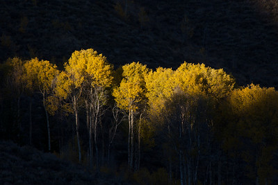 Yellow aspens at peak catch the last light of the day.