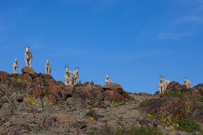 mtn goats atop bowery peak