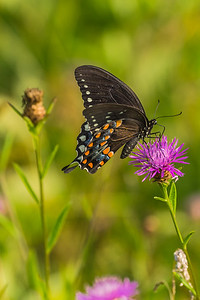 Butterfly_on_Wildflower