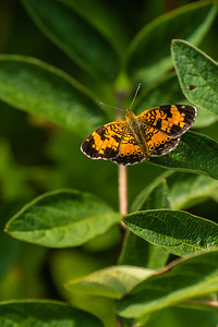 Pearl Crescent (Phyciodes Tharos) Butterfly