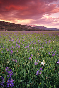 The Ayers Meadow Camas bloom under a blood red sky.