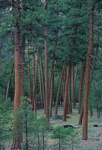The patriarch ponderosa grove below Little Soldier Camp.