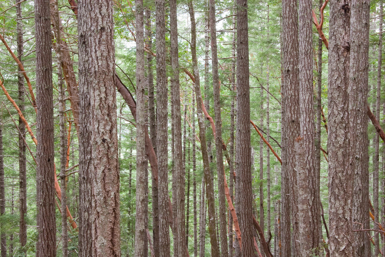 A forest of majestic pines are contrasted by the red barked madrone trees.