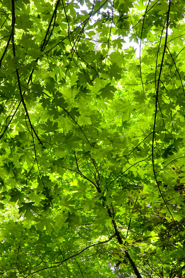 A green canopy rewards those willing to explore the upper reaches of Kelsey Creek.