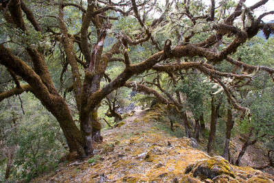 Moss covered oak trees flank the ridge above Whiskey Creek.