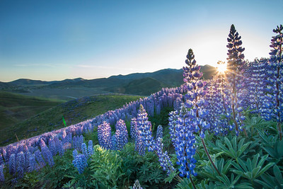 Post wildfire Lupine blooms out Croy Canyon near Hailey, ID.ync