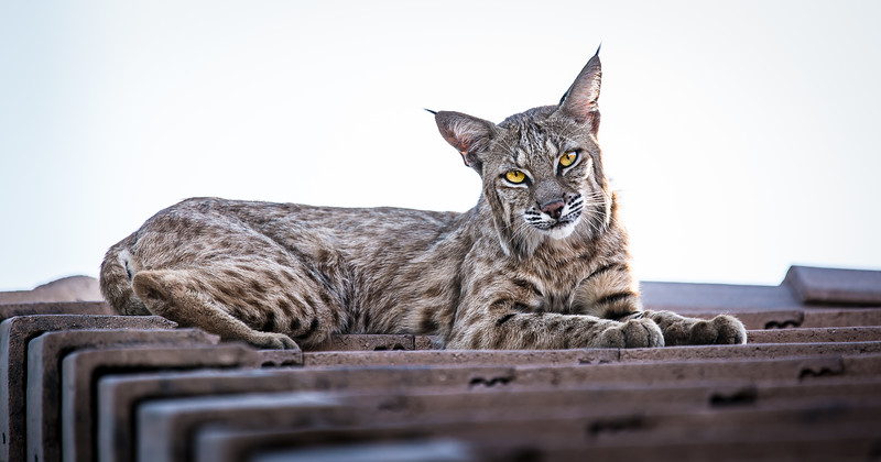 Bobcat on Rooftop