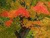 Maple Tree in Oil