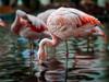 Flamingos in Maui