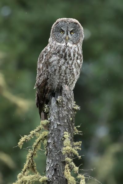 Great grey owl, Strix nebulosa, perched on a snag near Westlock, Alberta, Canada.