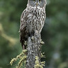 Great grey owl, Strix nebulosa, perched on a snag near Westlock, Alberta, Canada.