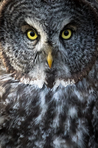 Great grey owl, Strix nebulosa, near Opal, Alberta, Canada.