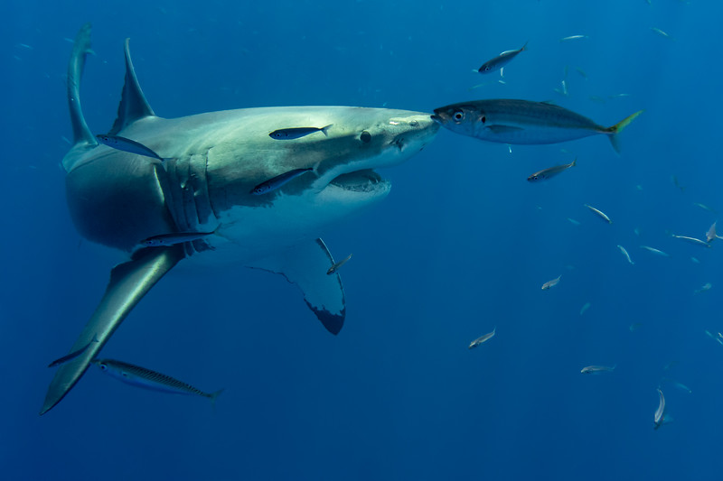 Great white shark, Carcharodon carcharias, swimming off the coast of Isla Guadelupe, Mexico.