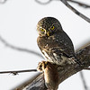 Northern pygmy owl, Glaucidium gnoma, on a branch with Southern red-backed vole Myodes gapperi prey.