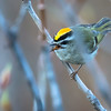 Golden-crowned kinglet, Regulus satrapa, in Waterton Lakes National Park, Alberta, Canada.