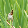 Marsh wren, Cistothorus palustris, singing from reeds near Dawson Creek, British Columbia, Canada.
