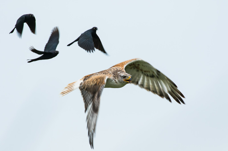 Ferruginous hawk, Buteo regalis, and Brewer's blackbirds, Euphagus cyanocephalus, near Monarch, Alberta, Canada.
