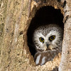 Northern saw-whet owl, Aegolius acadicus, in a tree cavity in Edmonton, Alberta, Canada.