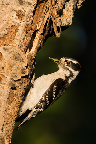 Hairy woodpecker, Picoides villosus, at a nest in Beauvais Lake Provincial Park, Alberta, Canada.