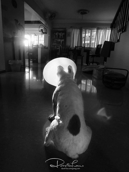 I was assisting to look after this French bull dog and he has some ailment that requires to wear the cone. The sun was found setting thru our window and I hurriedly took a shot to express the surrealistic atmosphere.