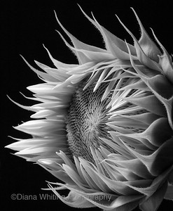 Sunflower  'Unfurled'