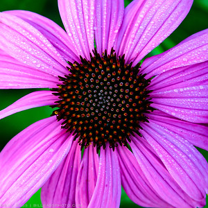 Narrowleaf Purple Coneflower (Echinacea pallida). Notice the  Fibonacci sequence that makes up the cone of this flower. The Fibonacci patterns are found throughout nature and is expressed as one of the most famous formulas in mathematics.