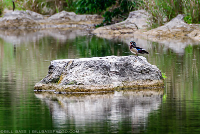 A Wood Duck (Aix sponsa) sits on a rock in the Guadalupe River in the early morning.