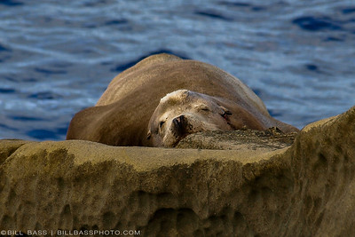 Steller Sea Lion (Eumetopias jubatus) in La Jolla Bay - La Jolla, California.