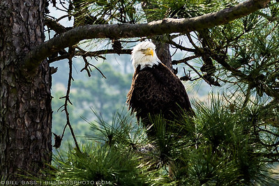 Male Bald Eagle watching over nest at Hughes Landing in The Woodlands, Texas