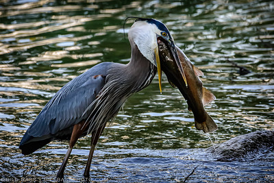 A Great Blue Heron (Ardea herodias) attempts to swallow a large Rainbow Trout on the Guadalupe River in New Braunfels, Texas. Herons are stealthy hunters and can be ambitious at times with the prey they choose to swallow whole. This heron was photographed while it stalked a trout in the shallow rapids. After a few minutes of attempting to hoist the fish upwards, throw back its head, and swallow the fish whole, the heron gave up and released the fish to float downstream. Sometimes your eyes can be bigger than your stomach.