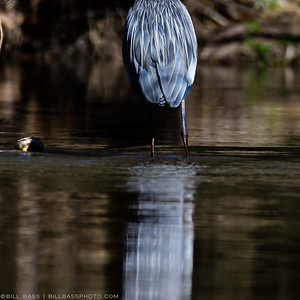Great Blue Heron (Ardea herodias) with bright blue breeding plumage. The demand for the feathers of snowy egrets, white ibises, and great blue herons in the late 19th and early 20th centuries made these birds a target. By 1886, more than 5 million birds were being massacred yearly to satisfy the North American millinery trade.