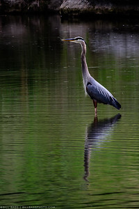 A Great Blue Heron (Ardea herodias) stands in a shallow area along the Guadalupe River in the Texas Hill Country. Normally though of as coasta birds, Herons are commonly seen far inland in the Texas Hill Country along lakes and rivers. The demand for the feathers of snowy egrets, white ibises, and great blue herons in the late 19th and early 20th centuries made these birds a target. By 1886, more than 5 million birds were being massacred yearly to satisfy the North American millinery trade.