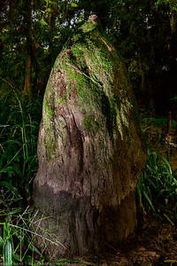 'Knee' of Bald Cypress. This feature with what bald cypresses are really known for. The technical term is Pneumatophore, which means 'air-bearing', and is a special kind of root. Pneumatophores grow from horizontal roots just below the surface and protrude upward from the ground or water. Bald cypresses often grow in swampy conditions, and it