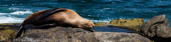 A California Sea Lion (Zalophus californianus) sleeps on the rocky shore in La Jolla, California.