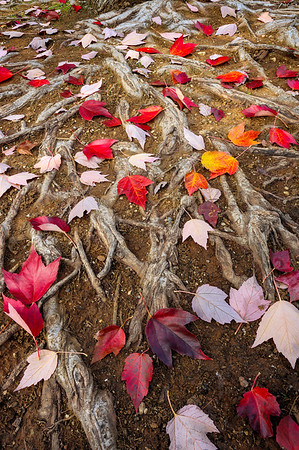 Maple Leaves and Roots