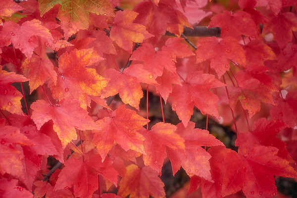Red Maple in Autumn II