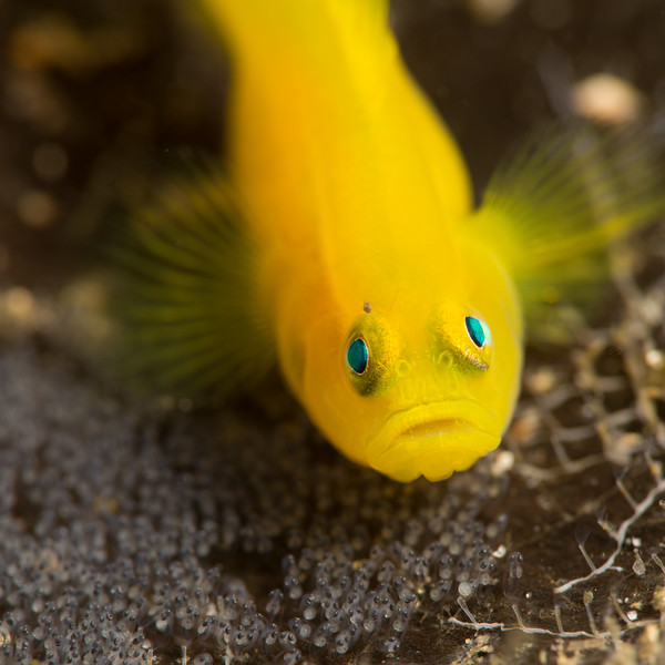 Protective Goby