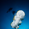 Haron Ardeadoris (Ardeadoris egretta) in midwater.  Note: This nudibranch was not manipulated in anyway.