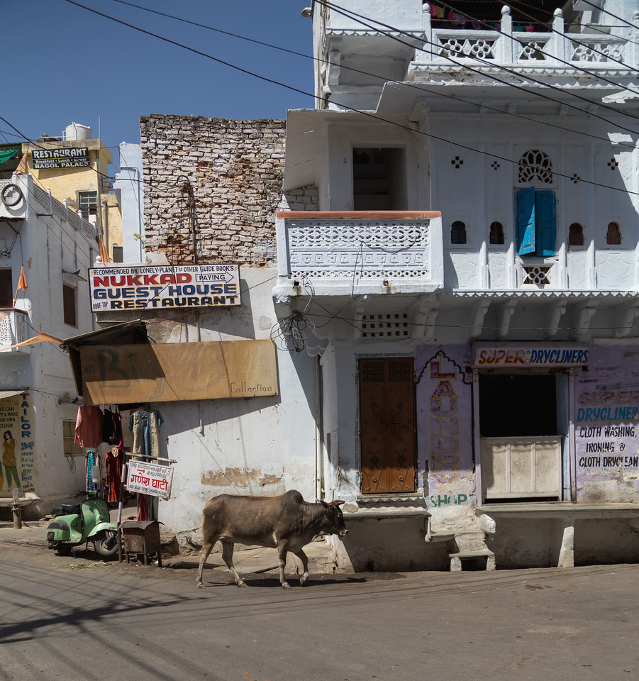 Cows and Streets in Udaipur, India
