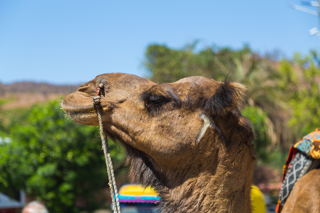 Closeup to a Camel in India