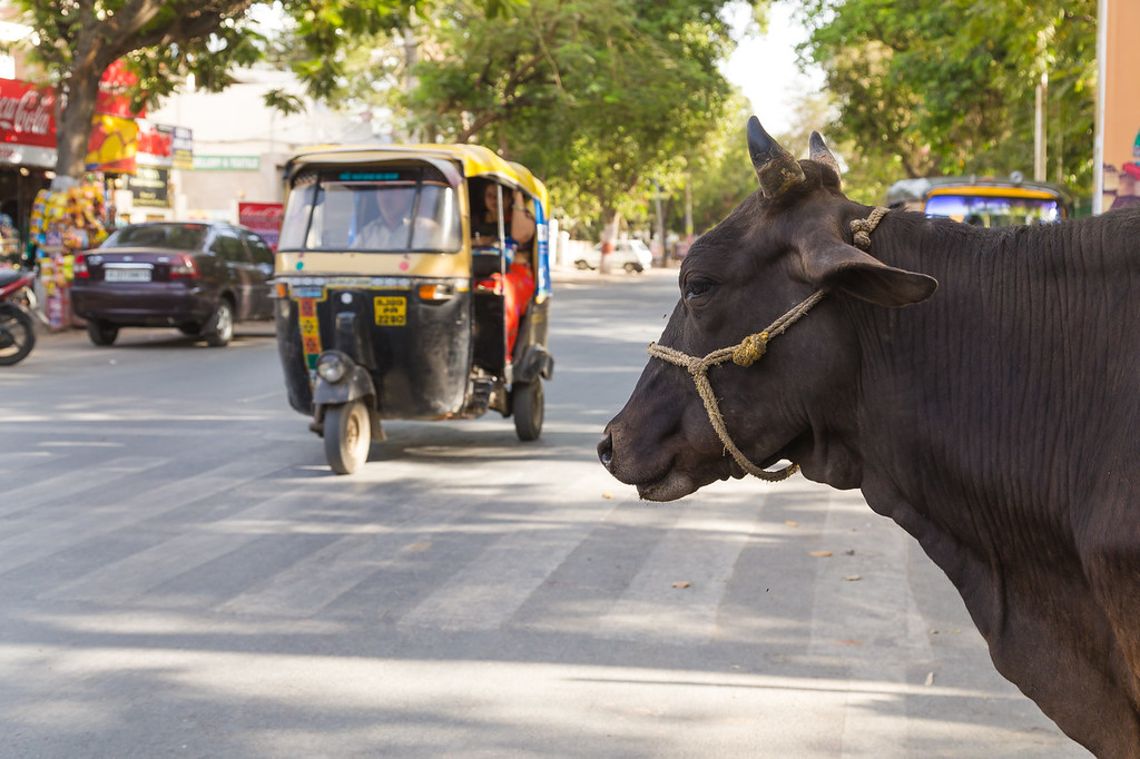 Cow at the Side of the Road in India