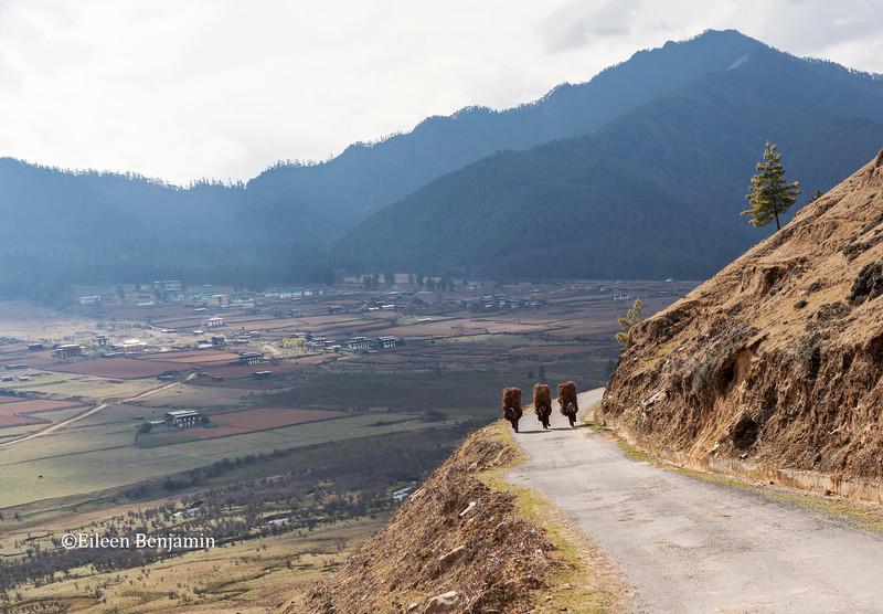 Gangtey: Bhutanese women carry straw from rice fields