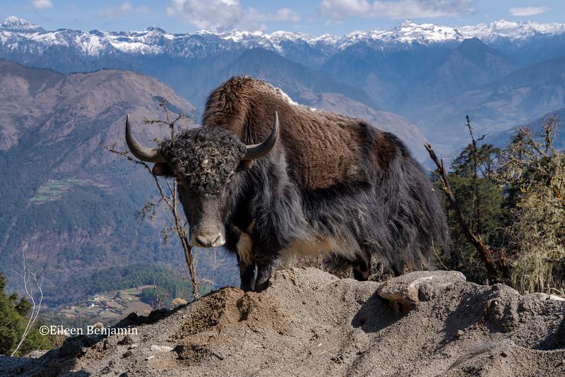 Yak and Black Mountain Range